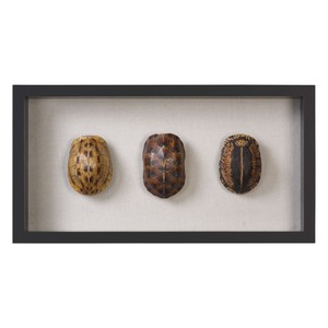 Tortoise Shells Shadow Box